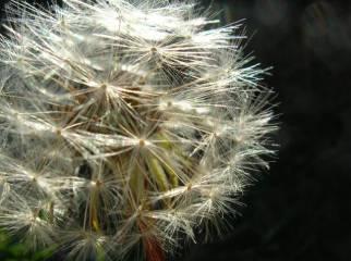 dandelion-1187504-638x477
